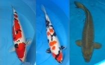 Imported Japanese Bloodline Koi
