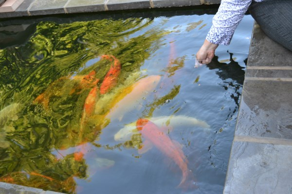 Happy koi happy koi koi keeping done right 20kl pond for Koi ponds durban
