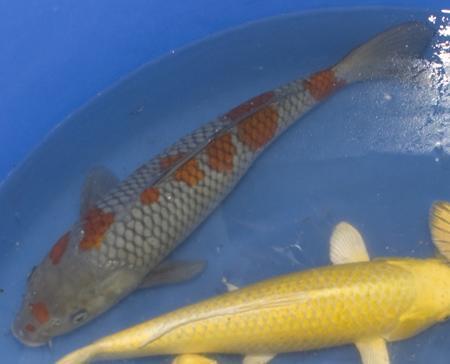 Ochiba shigure koi for Ochiba koi fish