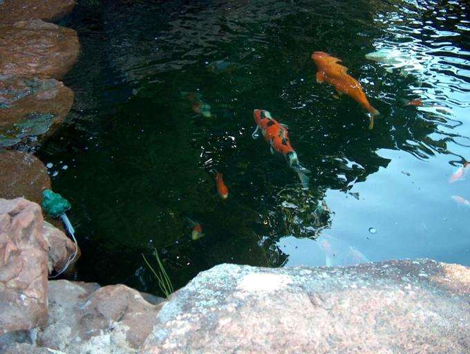 Happy koi happy koi koi keeping done right durban koi for Koi pond depth